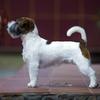 Стрижка, тримминг и груминг собак породы джек рассел терьера